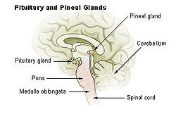 Pineal Gland-1